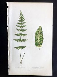 Lowe 1869 Antique Fern Print. Cystopteris Fracilis. Scolopendrium Vulgare